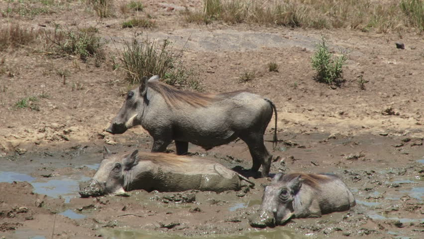 warthogs in the mud