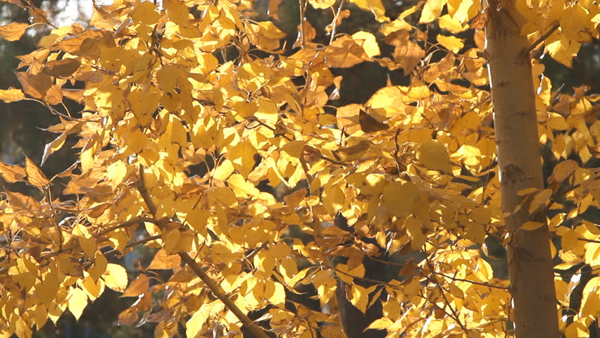 Autumn painted tree with it's leaves glowing | Shutterstock HD Video #8110483