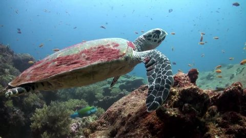 Sea Turtle swimming over coral reef in Similan Islands, Thailand. This is a Hawksbill Turtle the more rare cousin of the Green.