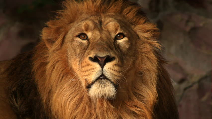 Lion Free Video Clips 16 Free Downloads