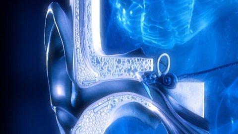 Inner ear. Hearing process. Medical animation.