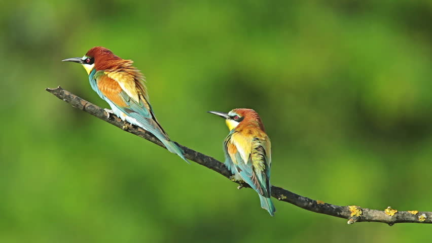 Birds Bee-eaters performing nesting games, perching and hunting insects after migration | Shutterstock HD Video #8317159