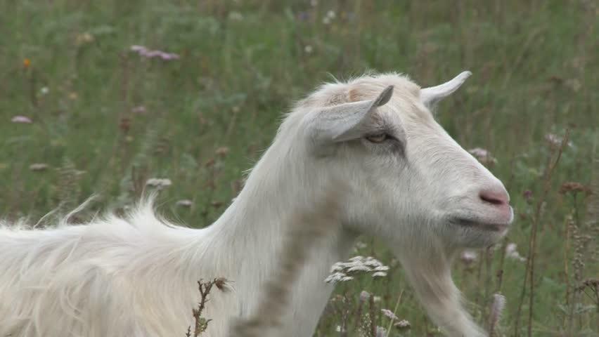 goat #8320933