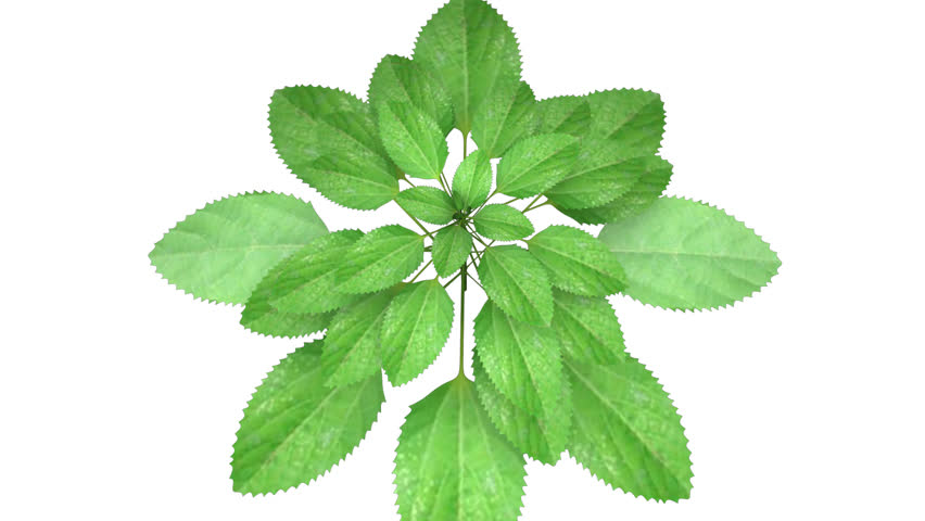 Header of Acalypha indica