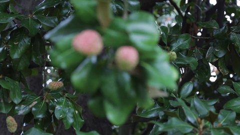 Magnolia Tree Fruit