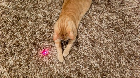 Cat Playing with Laser Pointer - Crazy Orange Tabby Kitty Having Fun with Toy