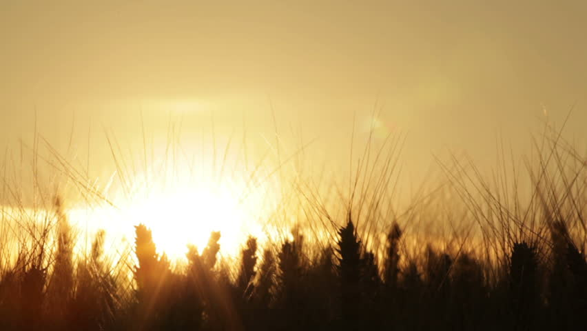 dolly shot silhouette of wheat ears in sunset