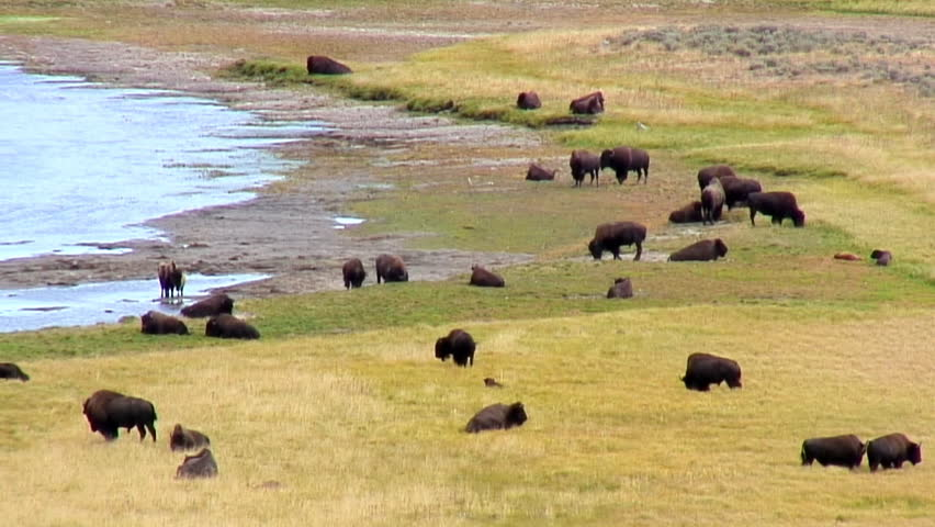 Buffalo herd in Yellowstone National Park