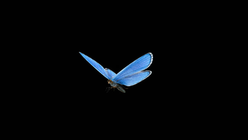 Butterfly - 3D - Round Flying - 13 L - Blue Adonis - Large - Loop - Alpha channel