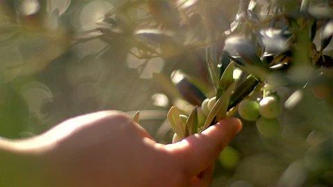Details of olives in plantation field - Portugal