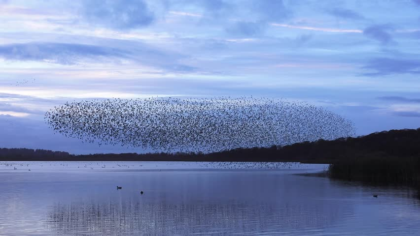 murmuration flock of starlings on lake sundown nature background - Aqualate Mere, Staffordshire, England: November 2014 -  02666698