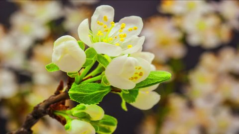 4k 30fps macro time lapse video of a plum flower growing and blossoming on a dark background/Plum Flower blooming macro timelapse