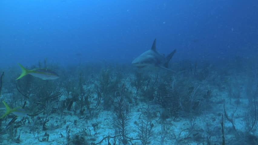 A Bull Shark (Carcharhinus leucas) swims by the camera at 80 feet in the Bahamas.