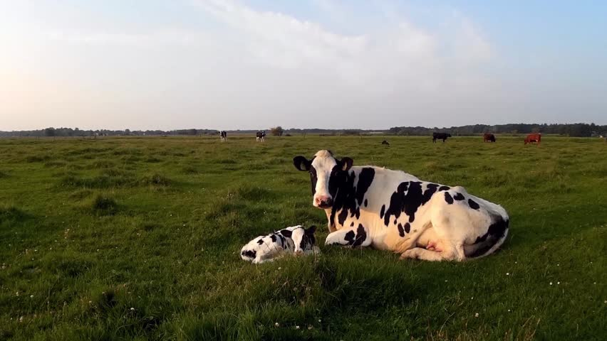 Footage of a drone flying near a cow calf and a mother cow laying in the green grass field mother caring for the little just born cow calf and mother checking out the camera and protecting her child