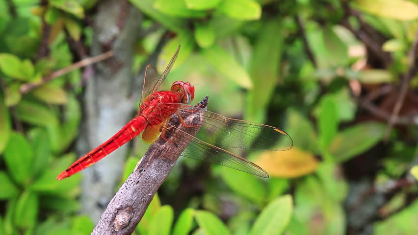 Red dragonfly Macro in nature  | Shutterstock HD Video #8700043