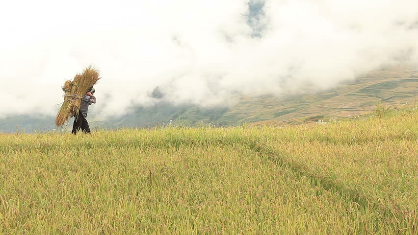 Harvesting rice in Yuanyang rice terraces, China.