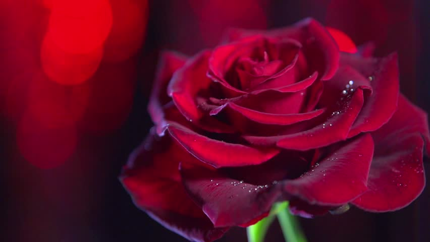 Red rose flower over dark red blinking background valentines day red rose flower close up background beautiful dark red rose closeup symbol of love negle Image collections