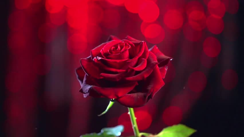 Red rose flower over dark red blinking background - Red rose flower hd images ...