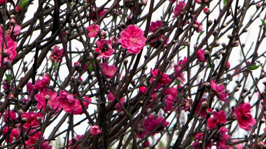 Bright pink blossom flowers of hoa dao - lunar New Year tree in Vietnam. HD 1080p. | Shutterstock HD Video #8735113