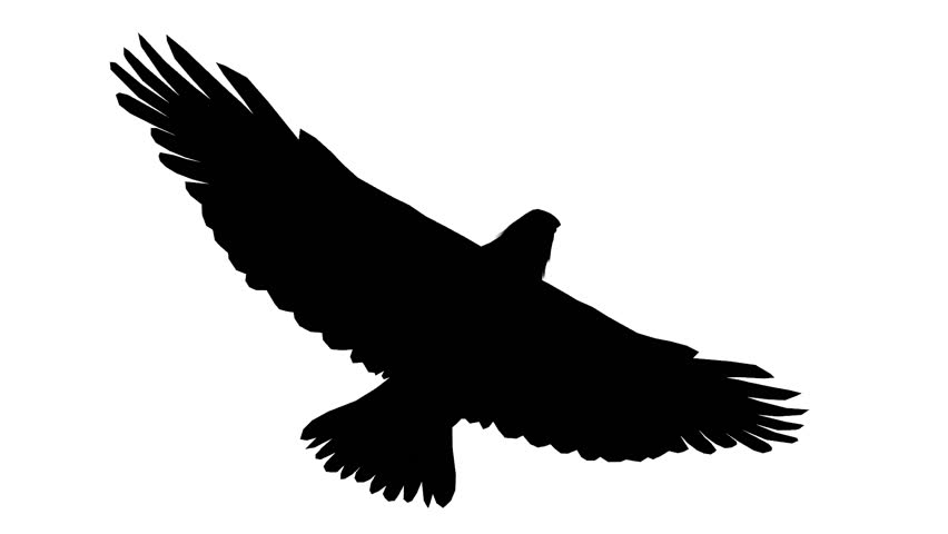 Stock Video Of Eagle Inciting Wings Flying Glidinghaliaeetus