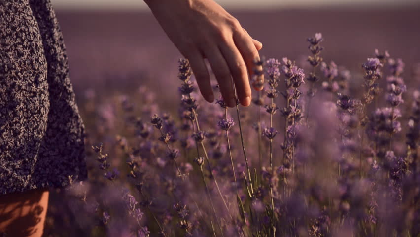 Close up of girl's hand that touching blossoming lavender. Slow motion | Shutterstock HD Video #8754310