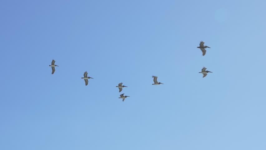Header of Pelicans