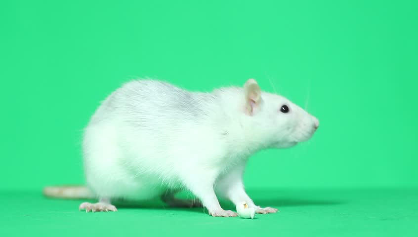 funny rat washing himself green screen #8765173