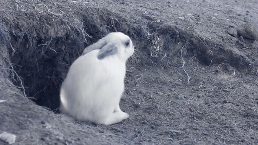 Infrared fauna: baby rabbit washing in a sand