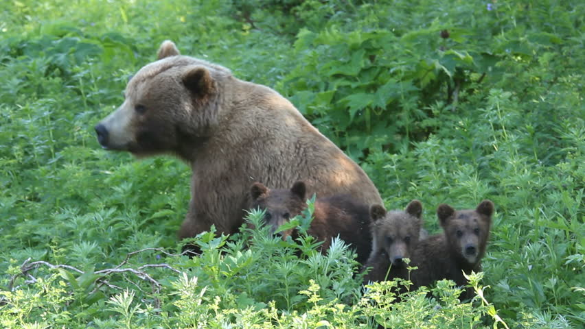 She-bear and bear cubs.