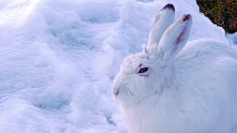 Mountain hare (Lepus timidus), close up in the snow showing the winter pelage.