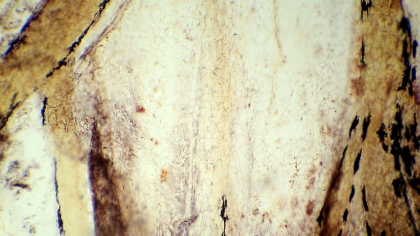 Simple squamous epithelium under the microscope (Simple Squamous Epithelium W.M.), Full HD
