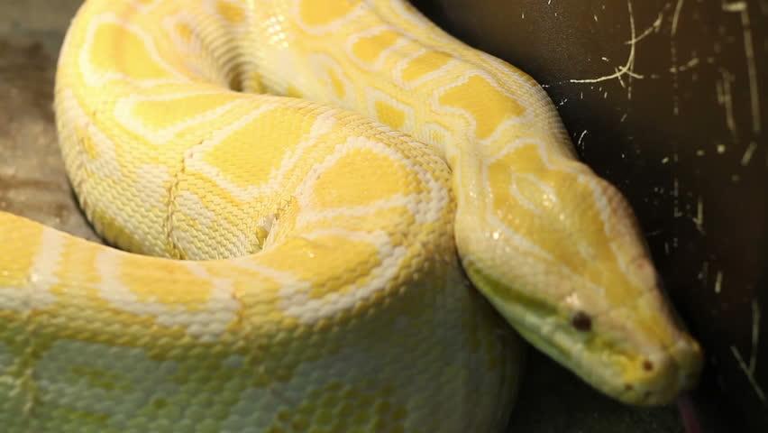 Large Albino Burmese Python Moving Stock Footage Video (100% Royalty-free)  8937493 | Shutterstock