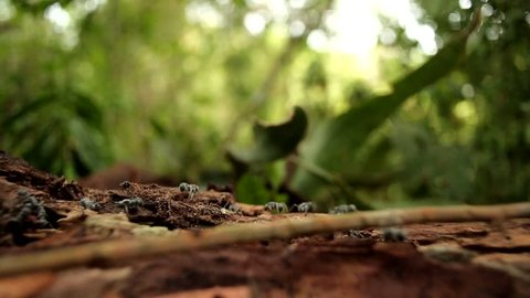 army ants crawling in the jungles of Africa