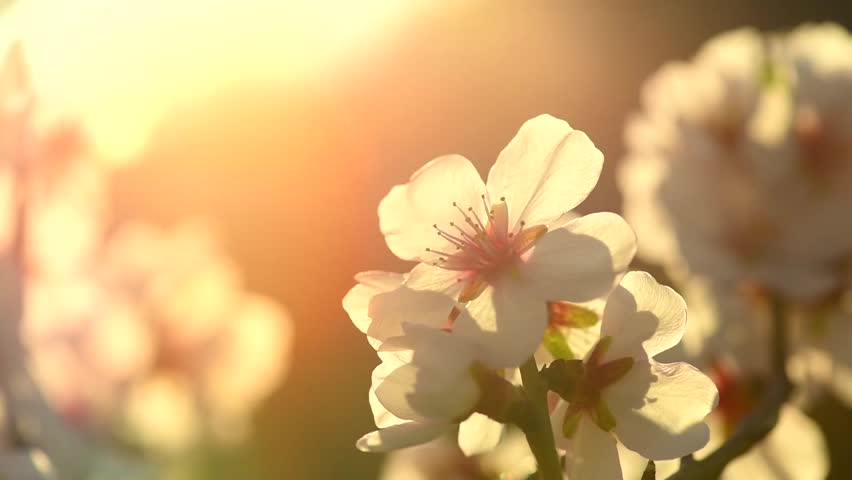 Spring Blossom Background Beautiful Nature Stockvideos