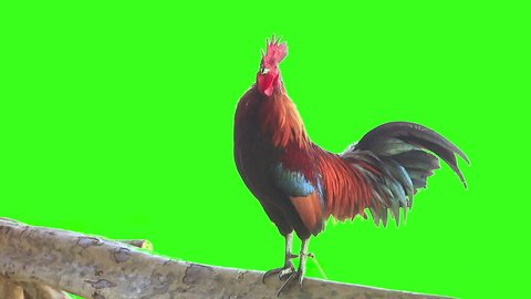Bantam rooster crows at Chiang Mai Thailand, green screen 1920x1080