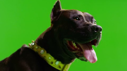 3K Real black pit bull dog barking. Green screen chroma key. Close up. Slow Motion. 