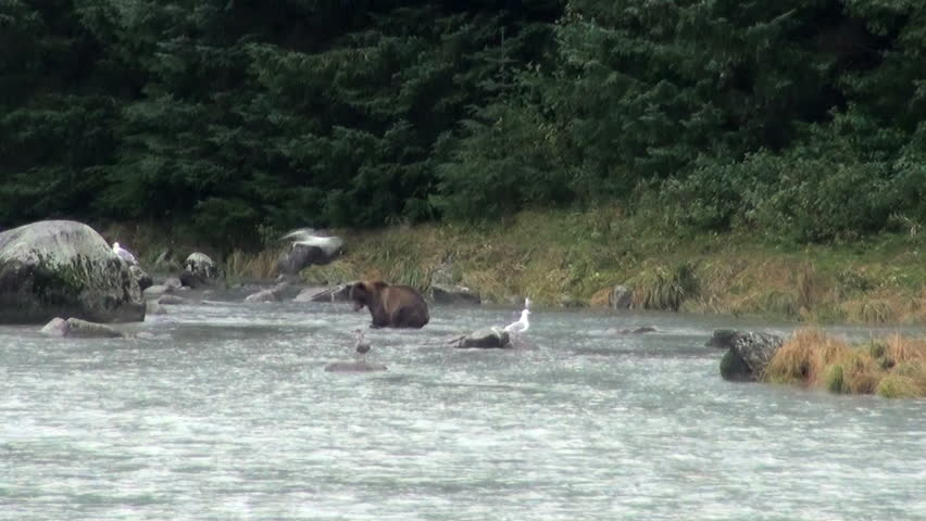 Brown Bear Fishing In Rainy Day - Animals In The Wild - Alaska - High Definition Video / Brown Bear - It Is Time For Lunch!