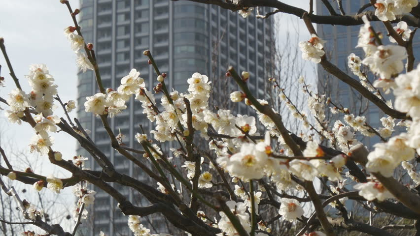 Zooming out of blooming white plum trees and downtown buildings in background. | Shutterstock HD Video #9112853