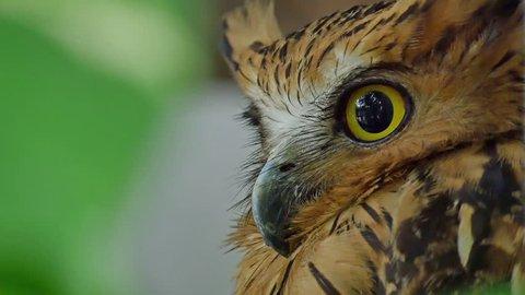 Eyes Horned eagle-owl