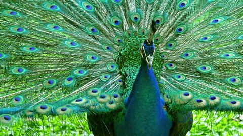 Male Indian Blue Peafowl displaying