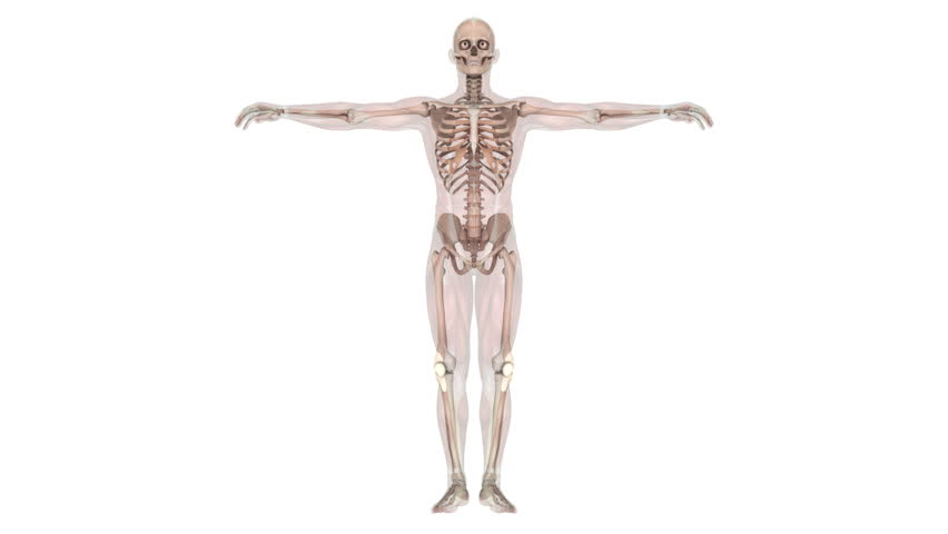 Human Body Skeleton with Arms Stock Footage Video (100% Royalty-free ...