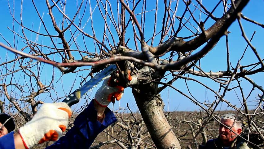 Fruit grower pruning fruit trees fruit grower working spring pruning fruit trees in the - Spring trimming orchard trees healthy ...
