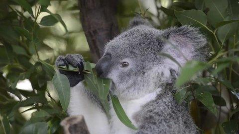 Koala by itself in a tree.