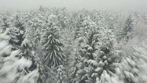 AERIAL: Low flight over snowy spruce forest in winter
