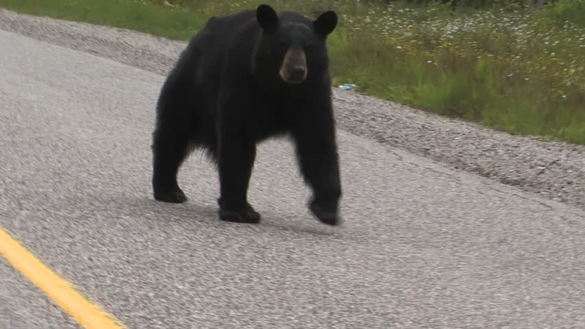 Black Bear on side road. Pukaskwa National Park of Canada. Ontario, Canada