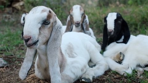 Herd of long eared Anglo Nubian baby goats