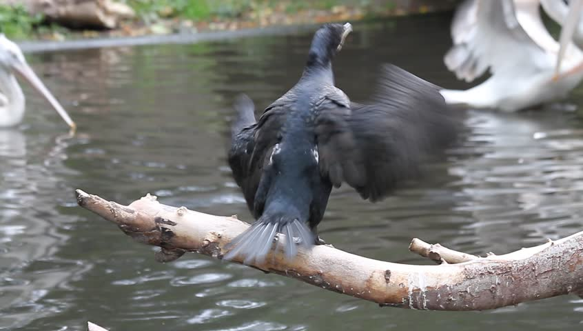 seabird flapping its wings in the river, Cormorant (Phalacrocorax)