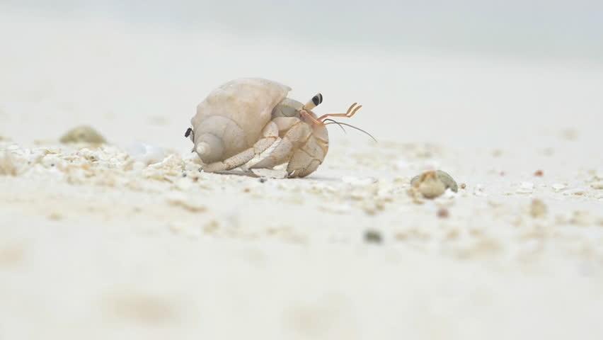 CLOSE UP: Hermit crab in Maldives island