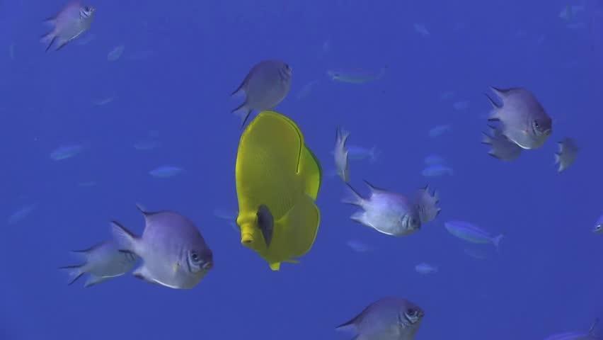Butterfly fish on the blue water   Shutterstock HD Video #9359483