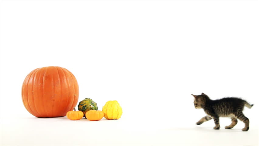 A tiny kitten walks over to a pumpkin and gourds, sniffs around a bit then walks off when it looses interest. White backdrop copy space